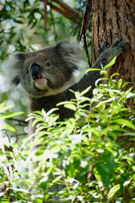 Our road-running koala safely up a tree