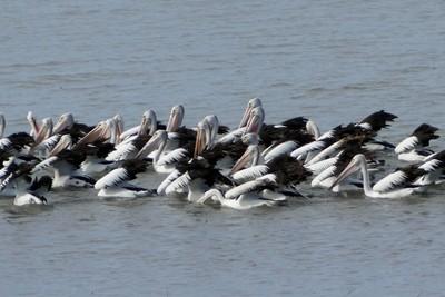 Raft of pelicans