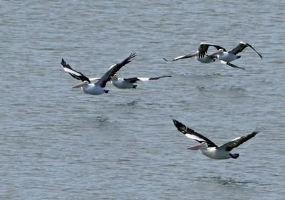 More pelicans flying in