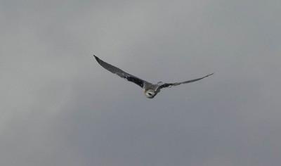 Black-shouldered kite on the hunt