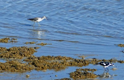 Greenshank and magpie-lark in the shallows