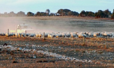 Sheep being driven in