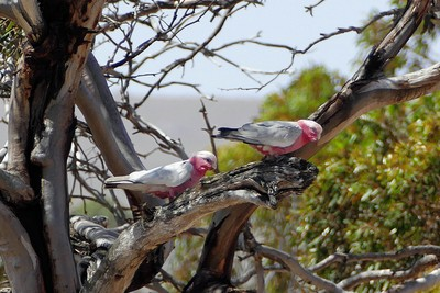 Galahs near the campsite