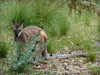 271217.11 Pretty-face wallaby
