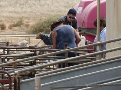 Pog (farmer) and Deb drenching the sheep