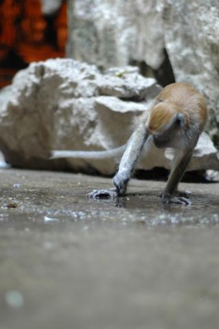 Batu Caves - Monkey
