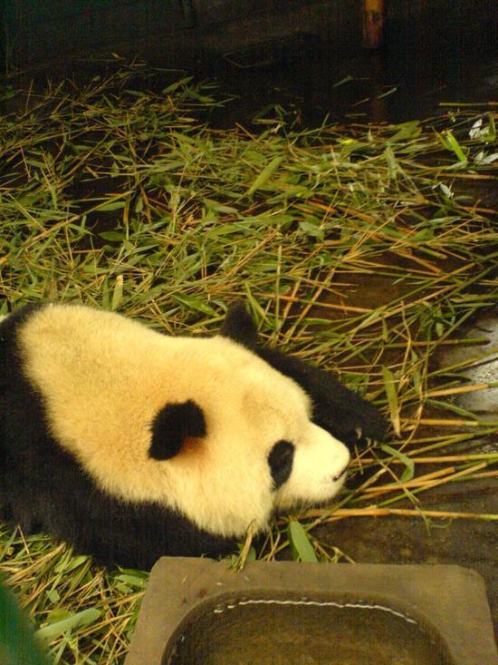 Panda Research Base (8)