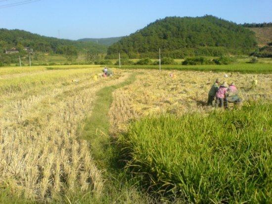 The Great Autumn Rice Harvest Ride 33
