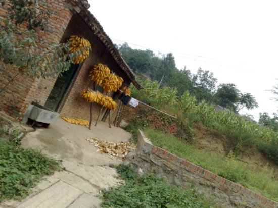 4-Mid Autumn Festival Corn Walk