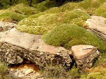 Gorse mounds in the pyrenees