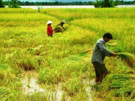 Working in the Rice Paddies