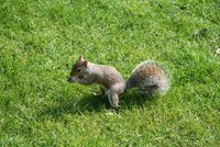 Squirrel at Saint James's Park