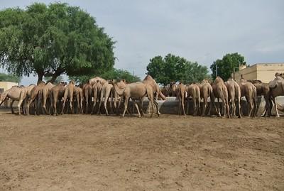 Bikaner Camel Farm