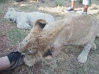 Lion Park Cubs make our shoes chew toys!