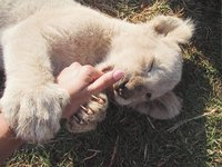 Lion Park Cubs -Looks at the size of their paws!