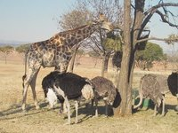 Giraffe & Ostrich at the Lion Park Zoo
