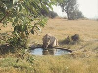 Lion Park Reserve Lioness drinks from a pool