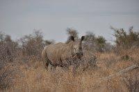 White Rhino on a safari walk