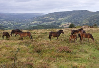 Wild Ponies of Exmoor National Park