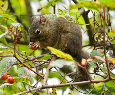Squirrel eating berries