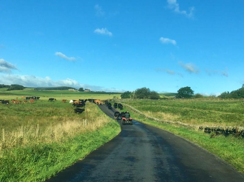 Herding of cattle