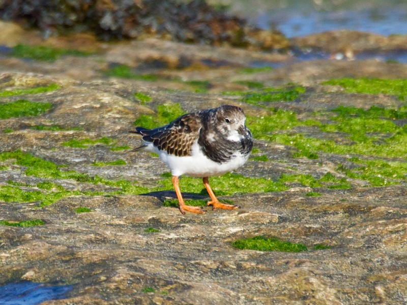 Turnstone so called because it uses it bill to flip over stone to find its prey
