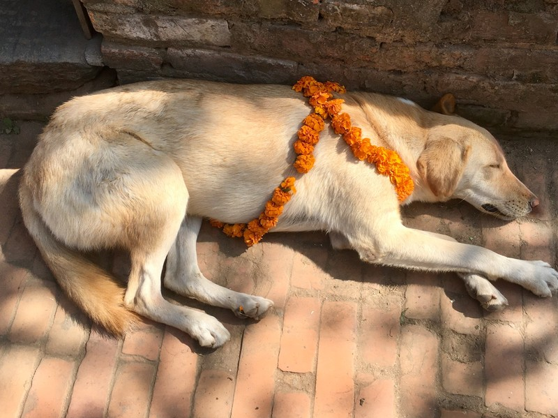 Day 3 of Diwali is dedicated to the Dogs, guardians of the house and are being blessed with garlands