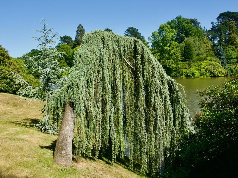Willow tree in Sheffield Park