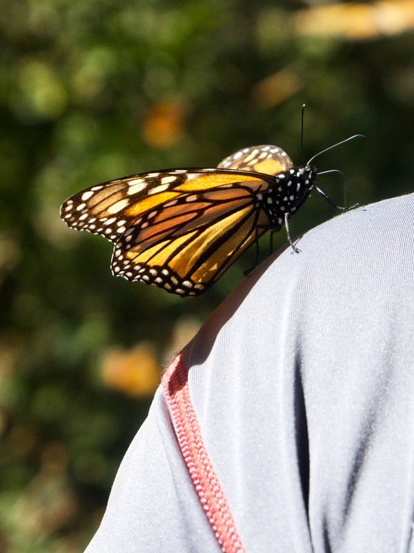 Monarch Butterfly looking for anything to land on