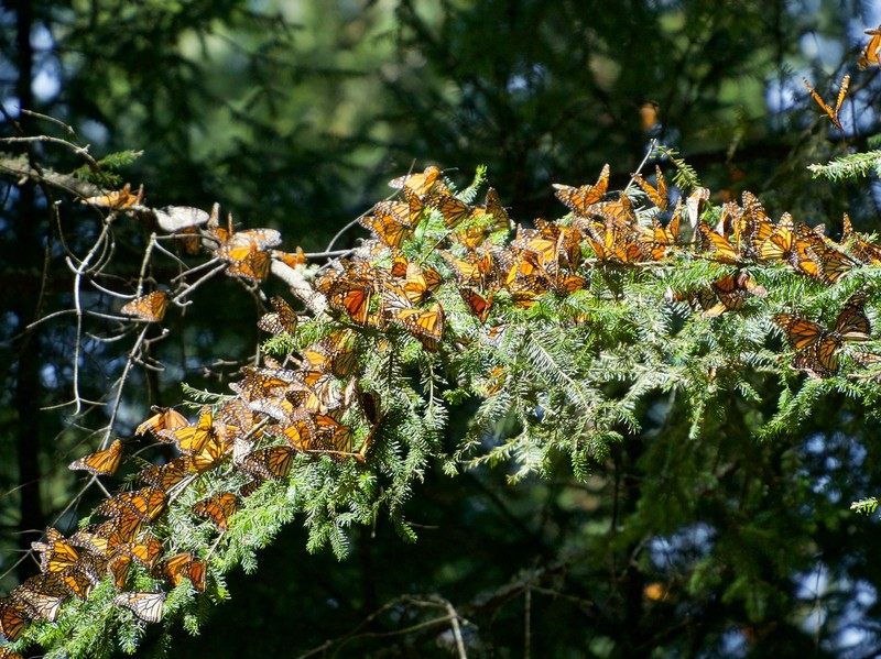 Pine tree branch covered in Monarch Butterflies