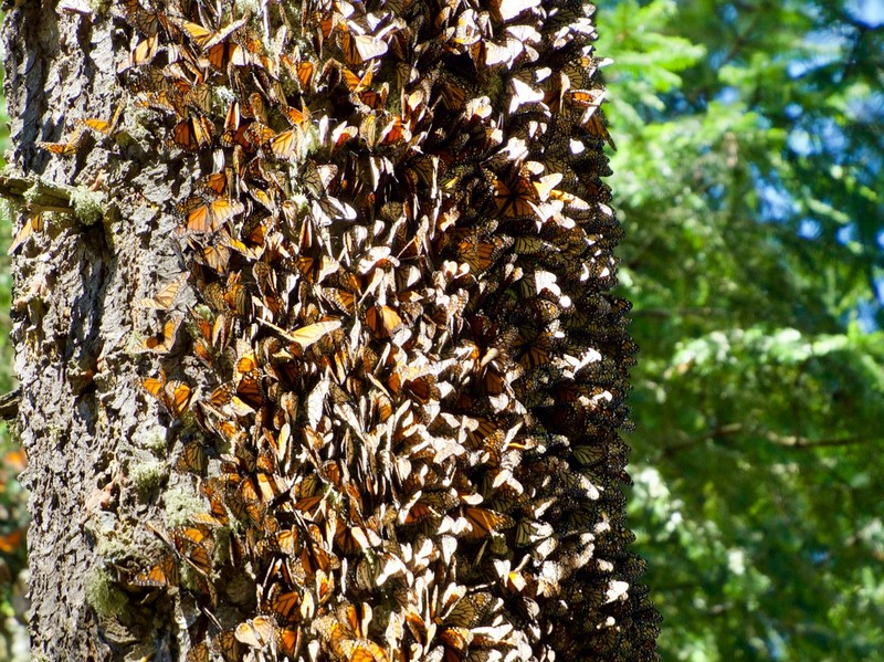 Monarch Butterflies clinging to a tree trunk