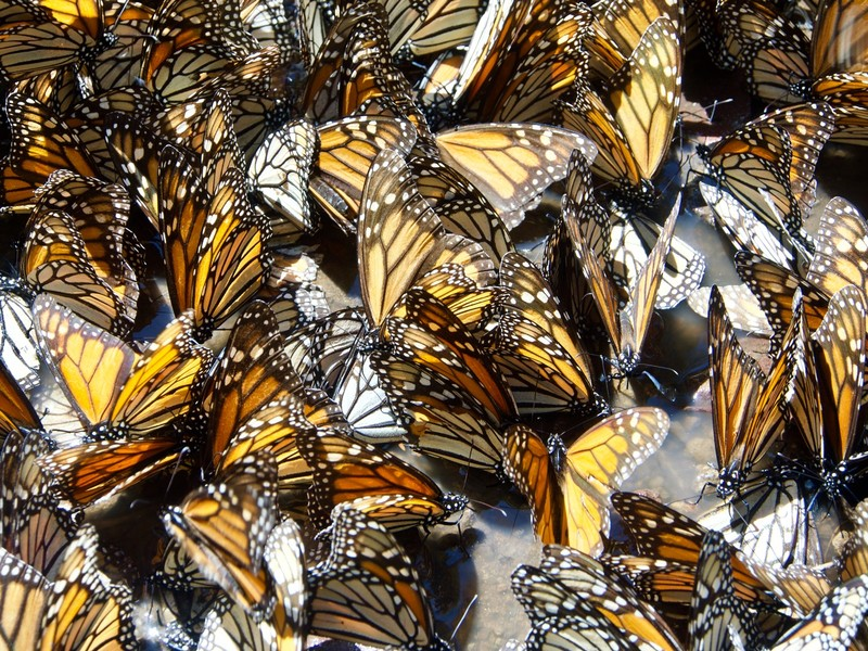 More butterfies looking for water