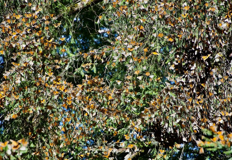 Monarch butterfly gathering