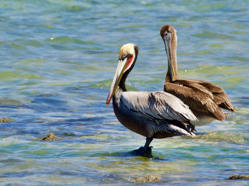 Adult and Juvenile Brown Pelican
