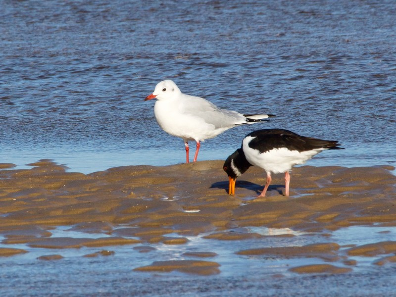 Oyster Catcher and Black Headed Gull in winter plumage