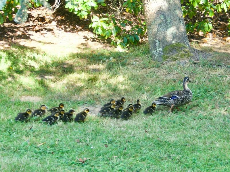 Family of ducks at Sheffield Park