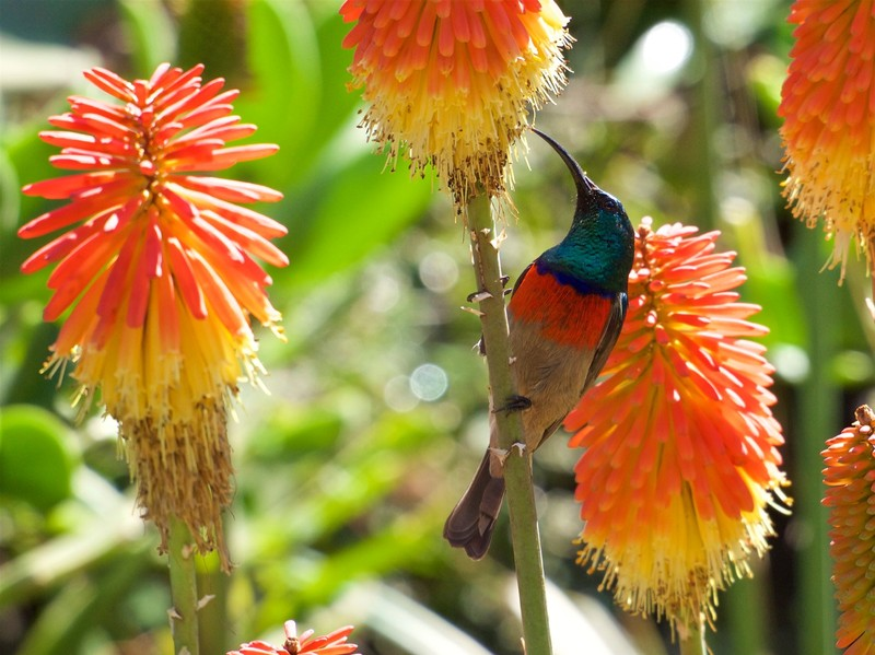 Double Collared Sunbird taken from the garden in our Nelspruit Accommodation