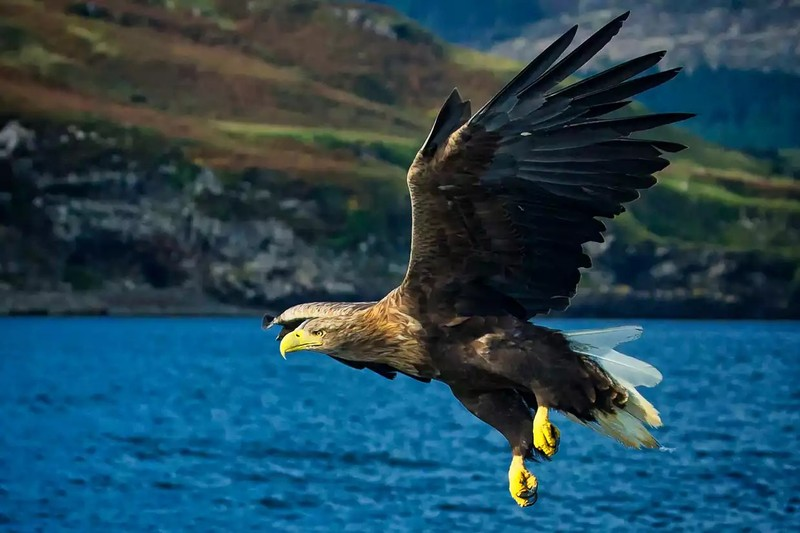 White-tailed-sea-eagle (courtesy of the internet from countryfile.com)