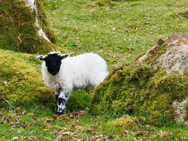 Lambing season in full bloom in Dartmoor