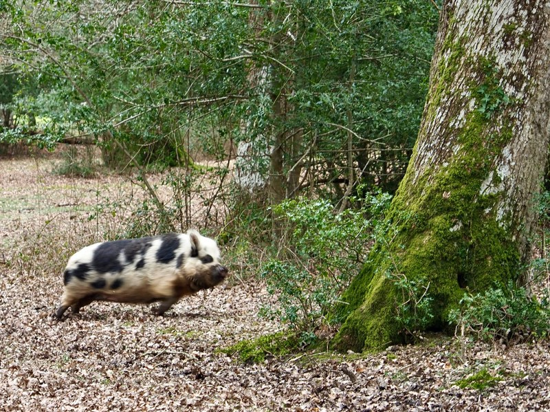 Pig on the run, makes a change from ponies