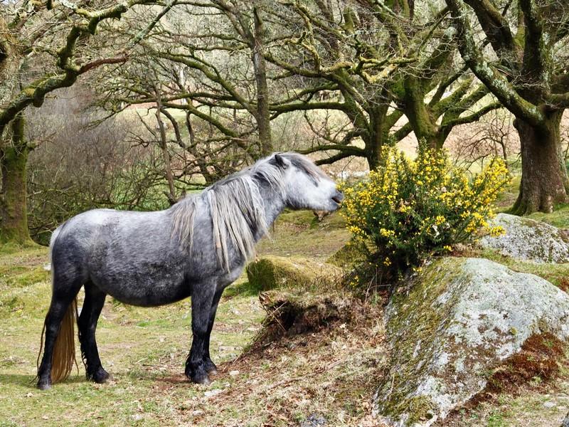 Dartmoor Hill Pony