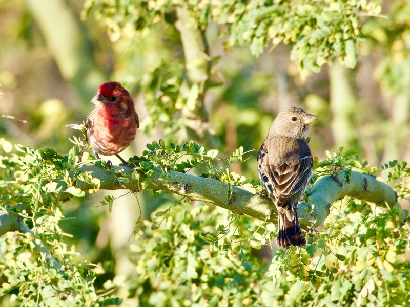 Mexican House Finch
