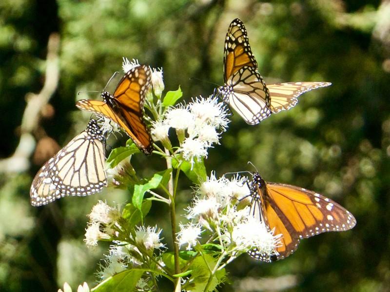 Monarch Butterflies feeding