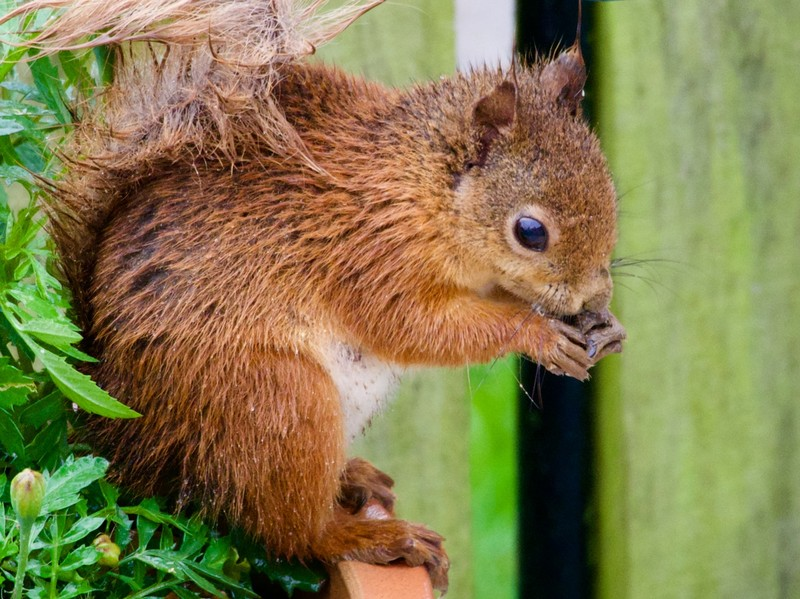 Local resident red squirrel