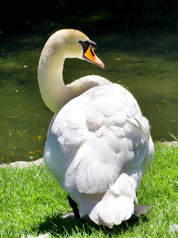 Bishops Palace resident swan