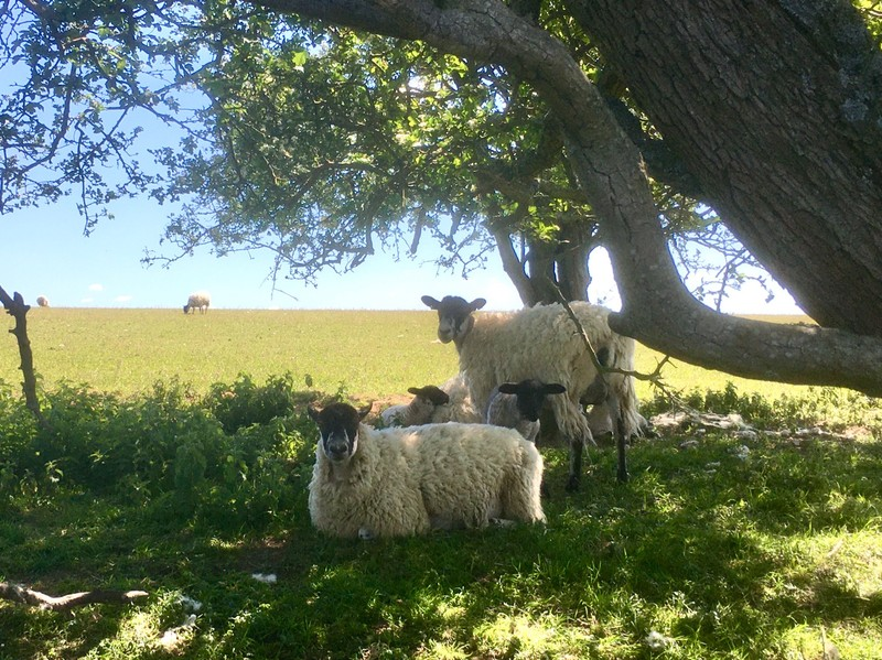 Sheep sheltering from the sun on The South Downs National Park