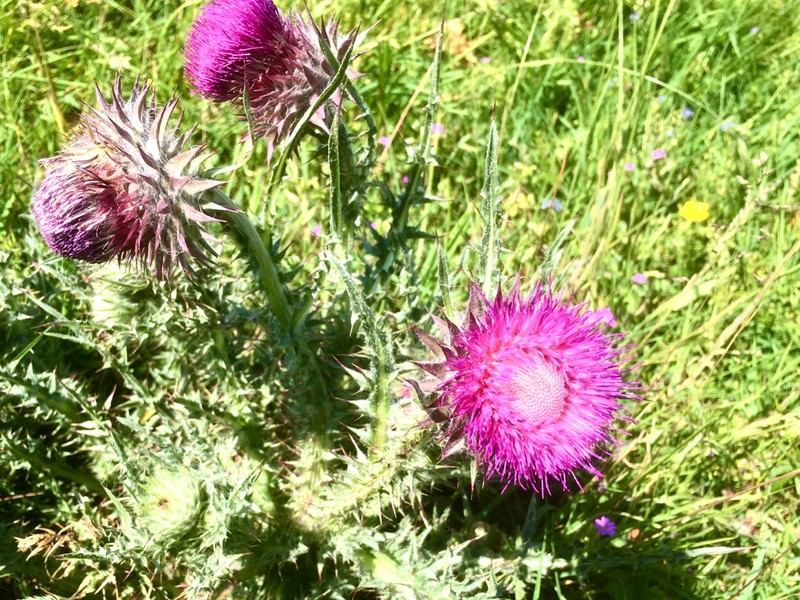 Thistles in bloom on the Downs