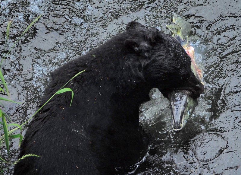 Successful catch for the black bear