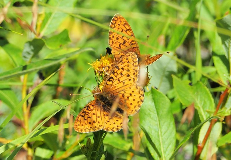 Mating buterflies