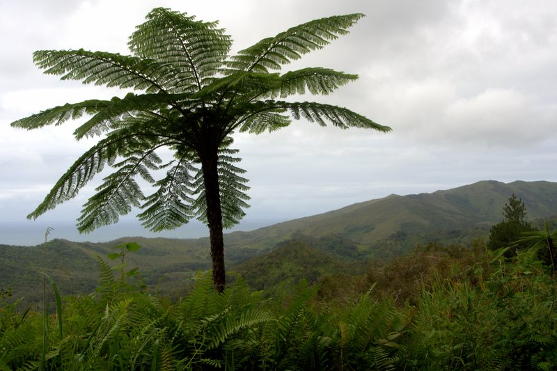 Fern Tree in the Napoemien Valley